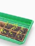 De nieuwe spruiten van de beginlente in grond Groene saladezaailing Royalty-vrije Stock Afbeeldingen