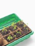 De nieuwe spruiten van de beginlente in grond Groene saladezaailing Royalty-vrije Stock Foto