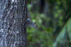 De nieuwsgierige eekhoorn Stock Afbeeldingen