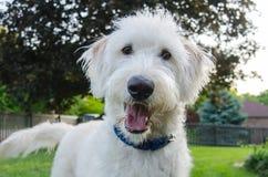 De nieuwsgierige Hond bekijkt Camera Royalty-vrije Stock Afbeelding