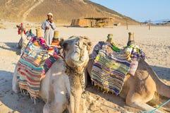De nieuwsgierige kameel Stock Foto's