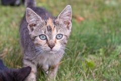 De nieuwsgierige kat onderzoekt de camera met haar blauwe ogen stock afbeelding