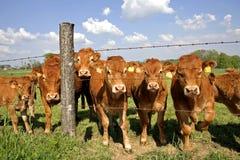 De nieuwsgierige koeien van de kudde achter omheining Stock Fotografie
