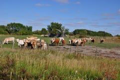 De nieuwsgierige kudde van vee nadert een omheining Stock Foto