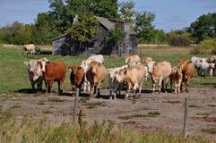De nieuwsgierige kudde van vee nadert een omheining Royalty-vrije Stock Foto