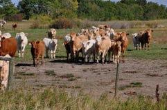 De nieuwsgierige kudde van vee nadert een omheining Royalty-vrije Stock Foto's