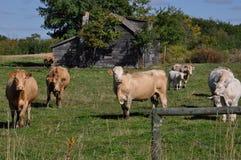 De nieuwsgierige kudde van vee nadert een omheining Stock Fotografie