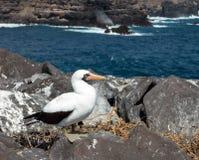 De nieuwsgierige zeevogel van de nazcadomoor op de Galapagos Stock Afbeeldingen