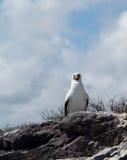 De nieuwsgierige zeevogel van de nazcadomoor op de Galapagos Royalty-vrije Stock Fotografie