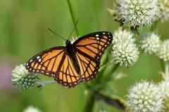 De nippende nectar van de onderkoningvlinder van een ratelslangmeester Stock Foto