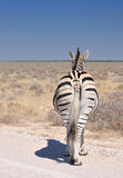 De nonchalant zebra Stock Fotografie