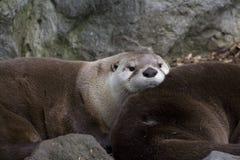 De Noordamerikaanse Otter van de Rivier (canadensis Lontra) Stock Fotografie