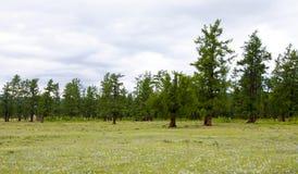 De Noordelijke Bossen van Mongolië Stock Afbeelding