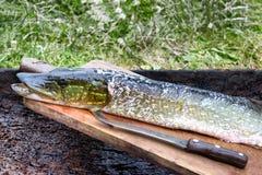 De Noordelijke Snoeken Esox - Lucius Visserijvangst, oogst van vissenvijver De vissen zijn bron van smakelijk vlees aangewezen vo Stock Foto's