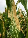 De noordelijke vloek van het graanblad van maïs & x28; Helminthosporium of Turcicum& x29; i royalty-vrije stock fotografie