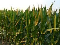 De noordelijke vloek van het graanblad van maïs & x28; Helminthosporium of Turcicum& x29; i stock afbeelding