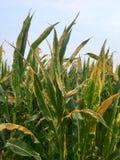 De noordelijke vloek van het graanblad van maïs & x28; Helminthosporium of Turcicum& x29; stock afbeeldingen