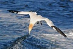 De noordelijke vogel van het Jan-van-gent over overzees Stock Foto