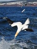 De noordelijke vogel van het Jan-van-gent over overzees Stock Afbeelding