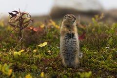 De noordpool Eekhoorn van de Grond Stock Fotografie