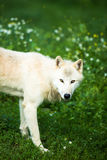 De noordpool Polaire Wolf van Wolfsaka of Witte Wolf Stock Fotografie