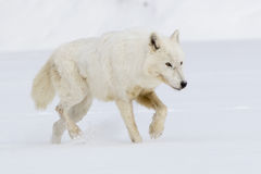 De noordpoolwolf op snuffelt voor voedsel rond Royalty-vrije Stock Foto's