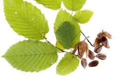 De noten van de beuk stock afbeelding