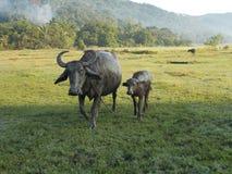 De nouveau aux bétail arrières photographie stock