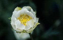 ` De nouvelle lune de ` de fleur de globe Photos libres de droits