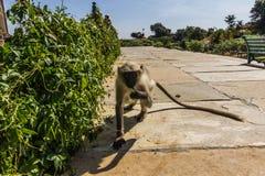 8 de novembro de 2014: Monkey ao redor o forte de Kumbhalgarh, Índia Fotografia de Stock