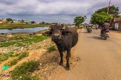 13 de noviembre de 2014: Bull en Madurai, la India Imagen de archivo libre de regalías