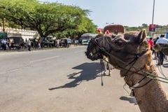 9 de noviembre de 2014: Camello en Udaipur, la India Imagenes de archivo