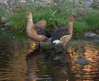 De nuevo a patos traseros Fotografía de archivo libre de regalías