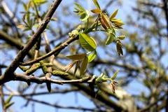 De nuez del árbol hojas primero Imágenes de archivo libres de regalías