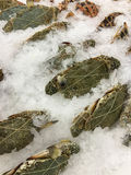 De nya krabborna Royaltyfri Foto