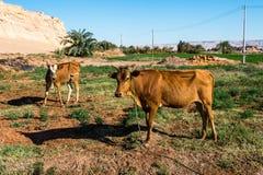 De Oase van Dakhla, Egypte stock foto