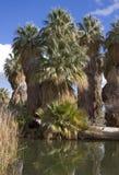 De Oase van de Palm van de ventilator Royalty-vrije Stock Fotografie