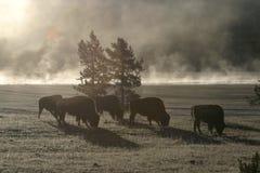 De Ochtend van buffels royalty-vrije stock afbeelding