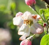 De ochtendvorst op een appel komt, 21,2017 april tot bloei Royalty-vrije Stock Afbeelding