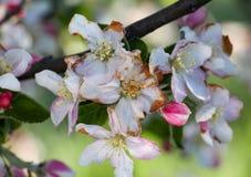 De ochtendvorst op een appel komt, 21,2017 april tot bloei Stock Foto's