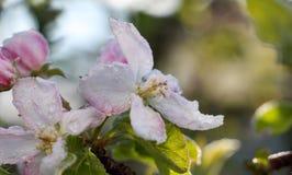 De ochtendvorst op een appel komt, 21,2017 april tot bloei Stock Afbeelding