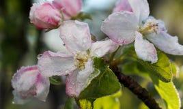 De ochtendvorst op een appel komt, 21,2017 april tot bloei Royalty-vrije Stock Fotografie