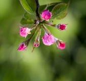 De ochtendvorst op een appel komt, 21,2017 april tot bloei Royalty-vrije Stock Foto