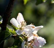 De ochtendvorst op een appel komt, 21,2017 april tot bloei Stock Foto