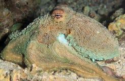De Octopus van de ertsader Stock Afbeeldingen