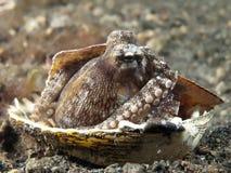 De octopus van de kokosnoot Royalty-vrije Stock Fotografie