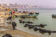 31 de octubre de 2014: Toros en Varanasi, la India Imágenes de archivo libres de regalías