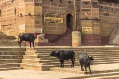 31 de octubre de 2014: Toros en Varanasi, la India Fotos de archivo libres de regalías