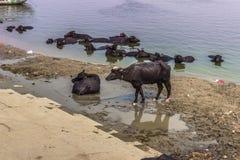 31 de octubre de 2014: Toros negros en el Ghats de Varanasi, la India Fotografía de archivo