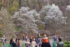 De Oekraïne, Kiev - April 05, 2017: Tot bloei komende magnolia's in de Botanische Tuin royalty-vrije stock foto